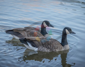 Geese Together