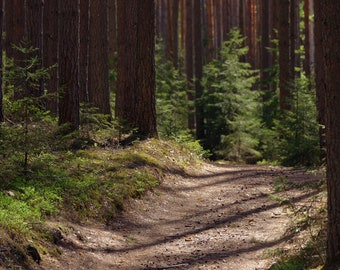 Track in the pine forest
