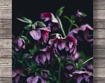 Printable art | hellebore flowers photo | Botanical hellebore | pink black white floral | photography flower art print | instant download