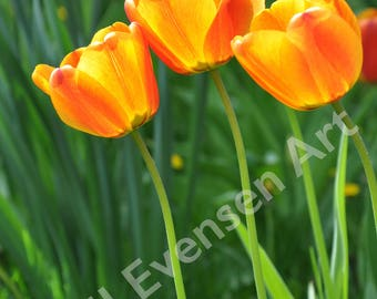 11x14 Fine Art Print Orange Tulips
