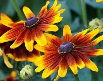 Organic Gloriosa Daisy Black Eyed Susan Heirloom Flower Wildflower Seeds