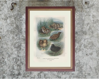 Baby Birds, Antique Bird Print, to Frame, Plate 29, 1910, George James Rankin, Landsborough Thomson