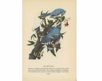 1950 BLUE JAY BIRD print - bird lithograph - original vintage bird print - with florida scrub jay on reverse side
