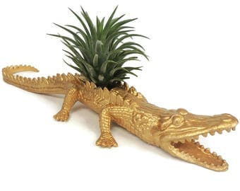 Gold alligator with air plant. Great boyfriend gift.