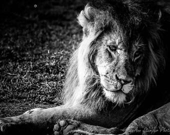Black and White, Lion,Metal Print,Africa,Tanzania,Fine Art,Home Decor,Wall Decor,Metal Art,Oversize,Safari