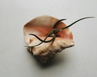 Natural Conch Shell Air Plant Holder - Beachy Bohemian Decor