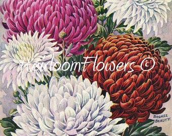 New Early Chrysanthemums, #32. Digital Download, Heirloom Vintage Shabby Garden Flowers