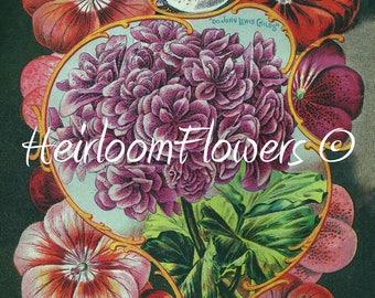 Giant Flowered Geraniums #63. Digital Download, John Lewis Childs Vintage Garden Seed Catalog Advert