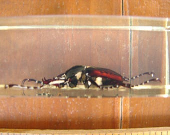 vintage entomology study,  beetle from Taiwan,  lnsect,  bug, preserved in acrylic block, Taxidermy,  paper weights