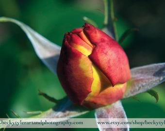 Red Rose Macro Photography Fine Art  Photo Print