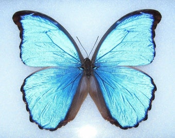 ONE Real Butterfly Blue Peruvian Morpho Didius