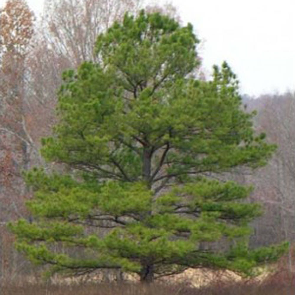 100 Loblolly Pine Tree Seeds, Pinus Taeda From