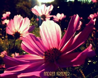 Cosmo Flower in Sunlight Photograph