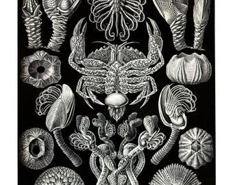 Ernst Haeckel's Vintage Artwork Cirripedia