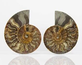 Ammonite Madagascan Fossil Cleoniceras