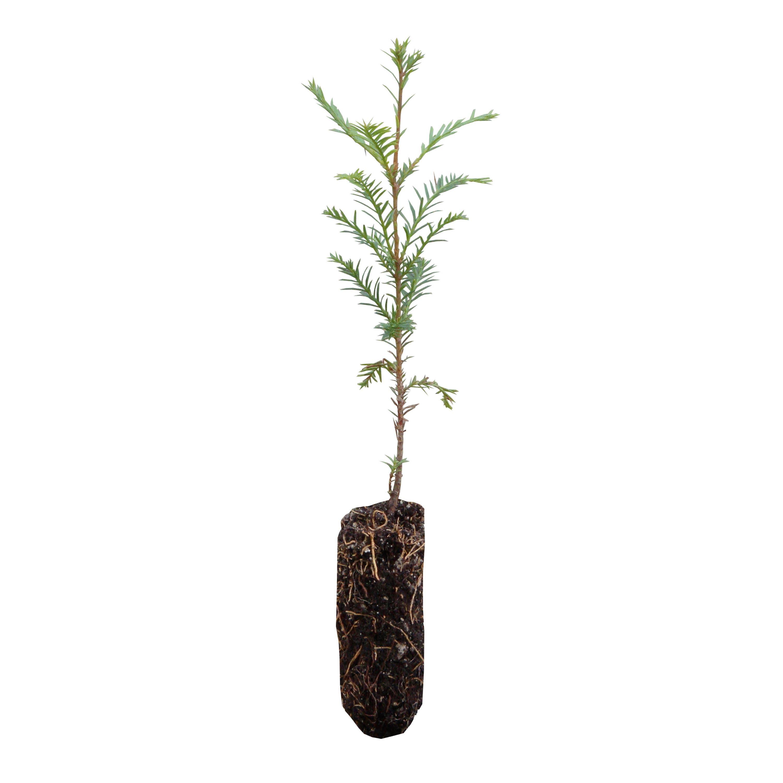 Coast Redwood Live Tree Seedling The Jonsteen Company From Thejonsteenco On Etsy