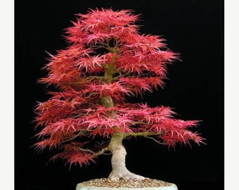 Acer palmatum 10 Seeds Red Japanese Maple Tree Bonsai Standard or Container Gardening Brilliant Red Fall Foliage Native of Japan