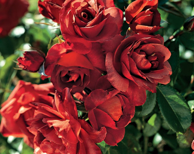 Hot Cocoa ™  Rose Bush - Fragrant Chocolate Coffee Colored Flowers - Own Root Plant Grown Organic Potted Grown Organic - SPRING SHIPPING