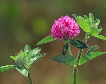 TINCTURE: Red Clover (Trifolium pratense), Organic
