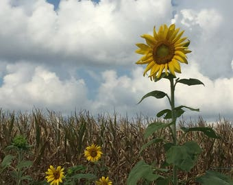 """Sunflowers - (11"""" x 14"""") Photograph - FREE SHIPPING!"""