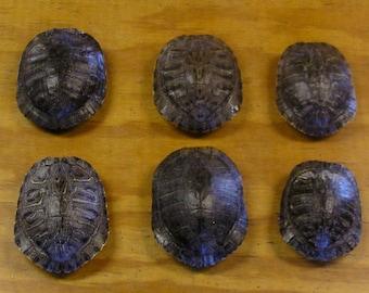 "6 - 5"" Red Ear Slider Turtle Shells"