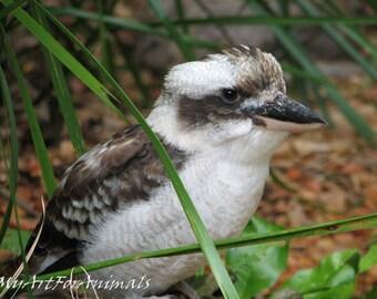 Kookaburra photo, bird, kingfisher, native, Australia, close-up, photo
