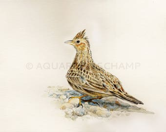 Study of birds - original watercolour of a Skylark