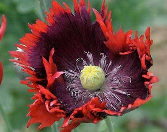 Papaver Somniferum 250 seeds, RED color