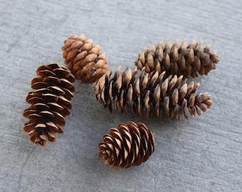 Miniature Spruce Cones For Terrarium, Fairy Gardens (Pack of 12)