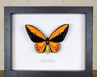 Wallace's Golden Birdwing in Box Frame (Ornithoptera croesus)