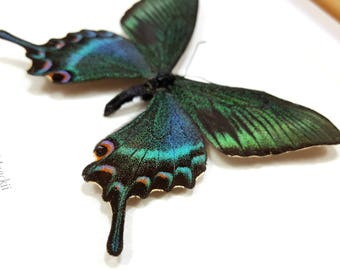 FREE SHIPPING Framed Alpine Black Swallowtail Brighter Spring Form Papilio Maackii Taxidermy A1 #76