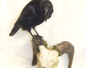 Taxidermy crow on a Ram skull , the crow will be very similar , Made to order