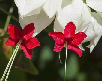 Bleeding Heart Vine Plants (Two Plants) - Clerodendrum Thomsoniae plants