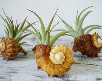 Amber Wedding Favours | 50 Pieces | Air Plant with Seashell | Tillandsia Design