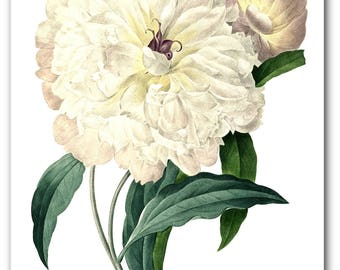 Peony Print, Botanical Flower, Botanical Peonies, Floral Theme Decor, 8 x 10 inches, Unframed
