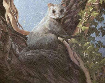 Squirrel Tailed Door Mouse [Glis glis] Also known as fat or edible door mouse