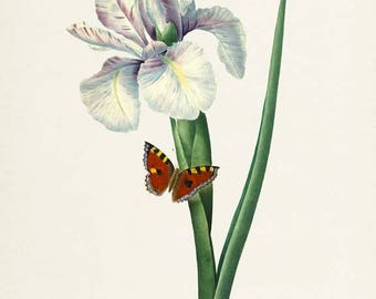Ixia xiphium Flower Art Print, Botanical Art Print, Flower Wall Art, Flower Print, Floral Print, Redoute Art, white green, butterfly art