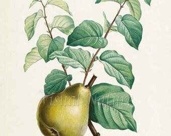 Pear Botanical Print, Pear Art Print, Pear Wall Art, Fruit Art, Fruit Print, Kitchen Art, Garden, Redoute Art, Poire