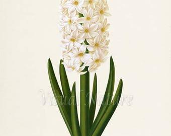 Hyacinth Flower Art Print, Botanical Art Print, Flower Wall Art, Flower Print, Floral Print, Home Decor, white