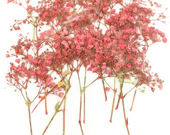 Pressed flowers, pink baby breath, gypsophila 20pcs for art, craft, card making, scrapbooking