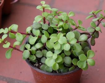 Dwarf Jade Plant, LARGE Succulent Elephant Bush Portulacaria Afra, Succulent Terrarium Plants Rare Succulent Plant Cutting, Unique Succulent