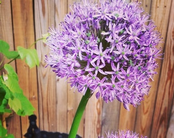 Allium Flower Photo Print