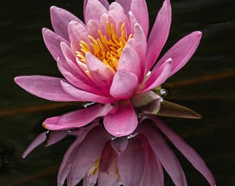 Pink Waterlily Photograph Print