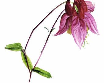 Wild Columbine, print, watercolor, pink