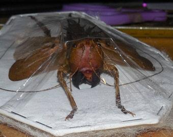 SPREAD LESINA ENSIFERA Real  Insect