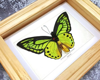 FREE SHIPPING Framed Ornithoptera Priamus Poseidon VERSO Common Green Birdwing Butterfly Taxidermy A1 #73