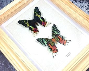 FREE SHIPPING Framed Madagascan Sunset Moth DUO Urania Rhipheus (Chrysiridia rhipheus) A1