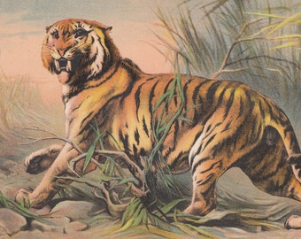 Vintage Tigers Gorgeous Bengal Tiger Cat Big Cats Wildlife Animals Antique Lithograph 1880