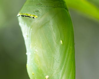 Monarch Caterpillar Chrysalis