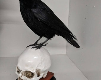 Taxidermy crow , READY NOW, firmly fixed to a realistic replica Human skull